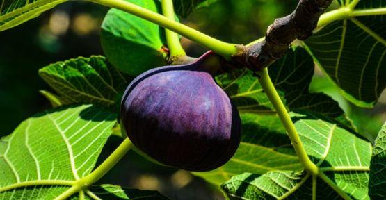 Bursa Siyah inciri ihracat için gün sayıyor